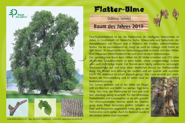 Flatter-Ulme - Baum des Jahres 2019